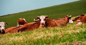 Halkbank Hayvancılık Kredisi