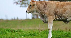 Hayvancılık Kredisi Ziraat Bankası