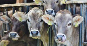 QNB Finansbank Süt Hayvancılığı Kredisi